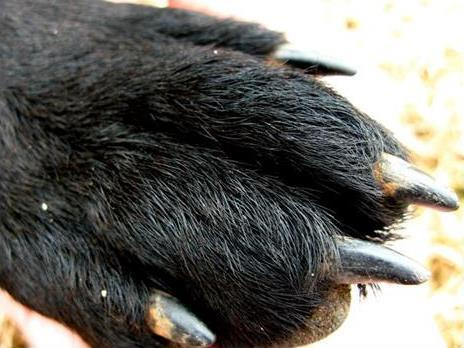 pata de perro|corte de uñas en el perro|corte de unas en el perro