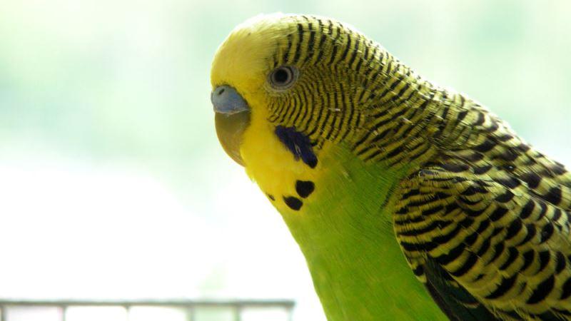 periquito|urgencias-en-aves-pico-roto