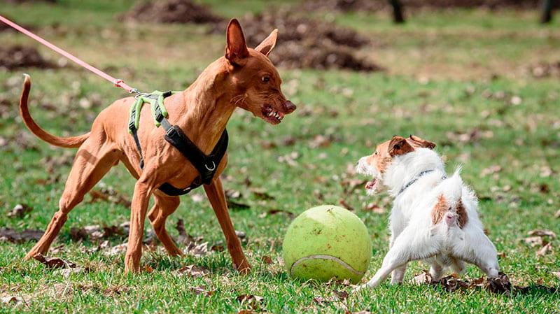 Perro es agresivo con otro perro