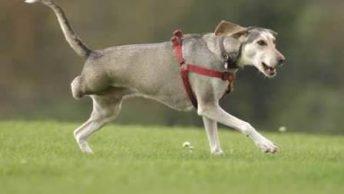 perro-amputado-corriendo|collar-isabelino-perro|extremidad-perro-diagnostico-amputacion|perro-amputado