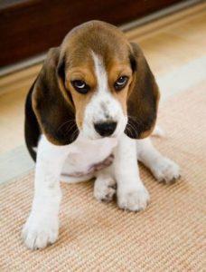 perro beagle sintiendo culpa