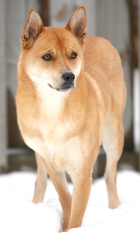 El perro de Carolina es posiblemente la raza canina más antigua nativa de América.