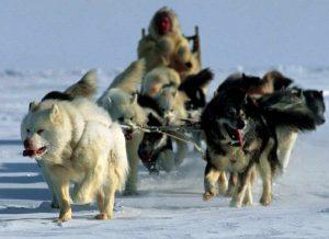 El perro esquimal del Canadá es una de las razas precolombinas, prácticamente sin influencia europea.