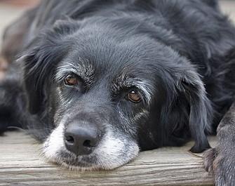 perro-mayor-2|cuidados-perro-mayor-1|ojos-grises-perro-anciano|perro-mayor-1|cuidados-perro-mayor-2