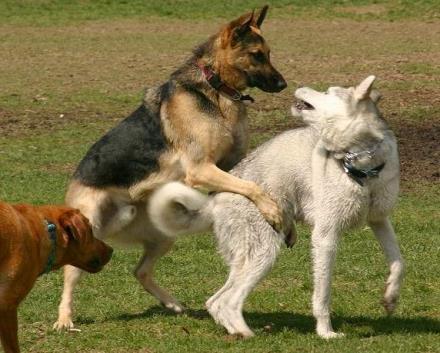 perro-montando|cachorro-de-perro-montando-a-otro-cachorro|dominancia|perro-monta-pierna-persona