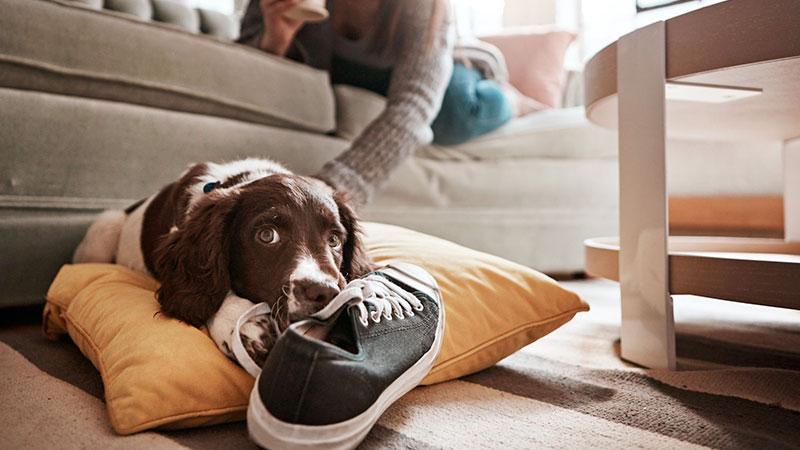 Perro mordiendo unas zapatillas
