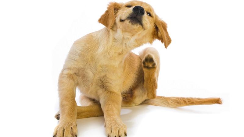 perro-rascandose-las-pulgas|como-quitar-pulgas-del-perro-en-casa