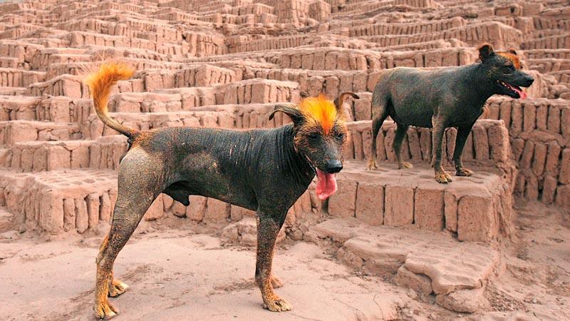 perro-sin-pelo-peruano perro-de-carolina perro-esquimal-canada