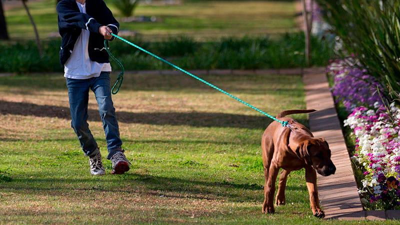 perro-tirando-correa-min|collar-de-adiestramiento-Gentle-Leader|que-hacer-para-ser-un-buen-paseador-de-perros