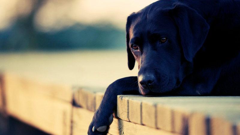 perro-triste-enfermo-salmonelosis