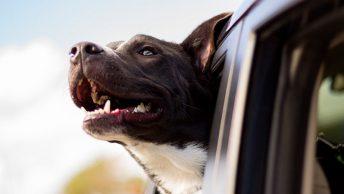 perro-ventailla-coche