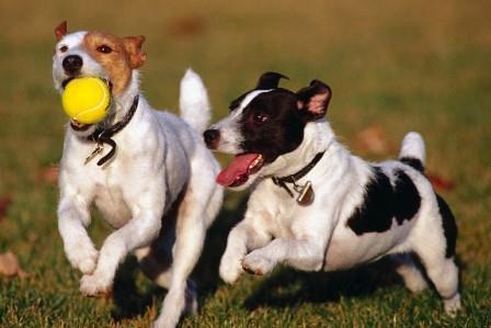 perros-jugando-con-una-pelota|Parson Russell terrier|Digital StillCamera
