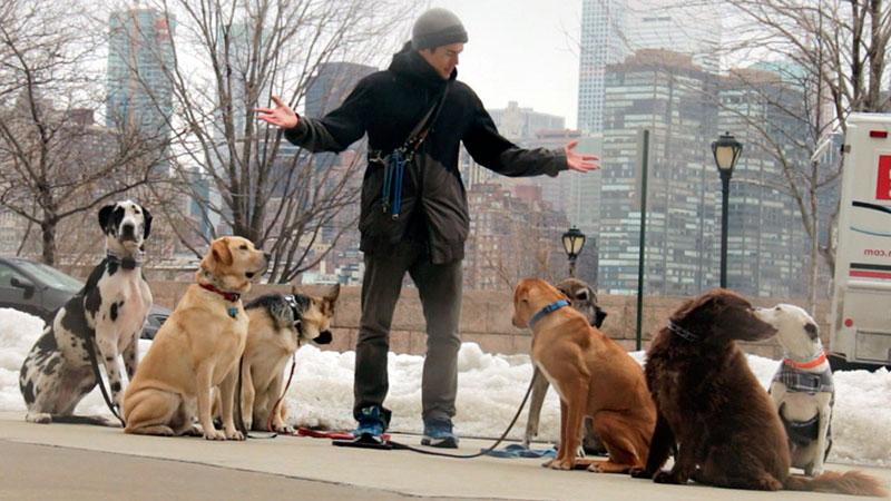 Perros observando a paseador de perros|El perro aprende simplemente observando