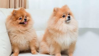 perros-pomerania-min