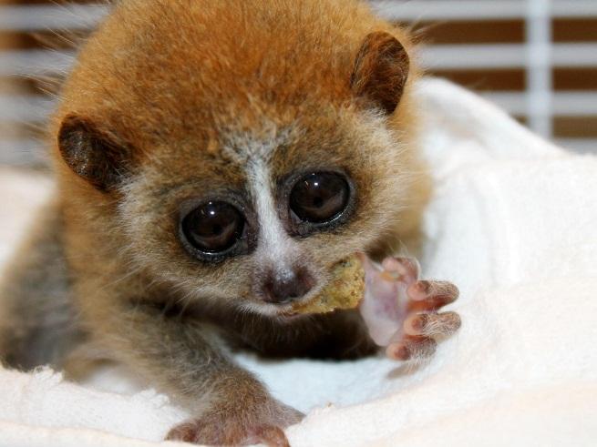 primates-venenosos-1|primates-venenosos-2