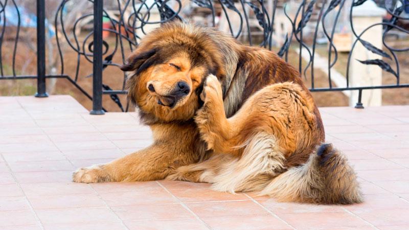 Perro se rasca por problemas en el manto