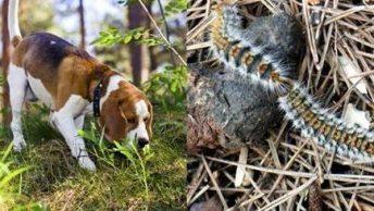 procesionaria y perro|procesionaria del pino|perro afectado por procesionaria