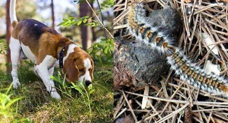 procesionaria y perro procesionaria del pino perro afectado por procesionaria