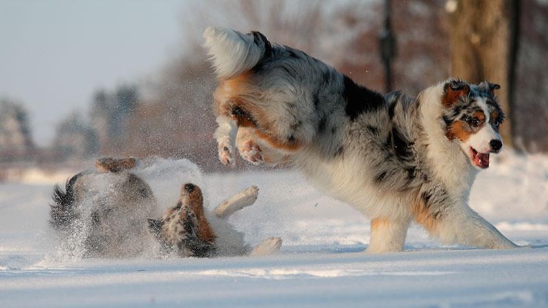 razas-de-perro-pastor-australiano