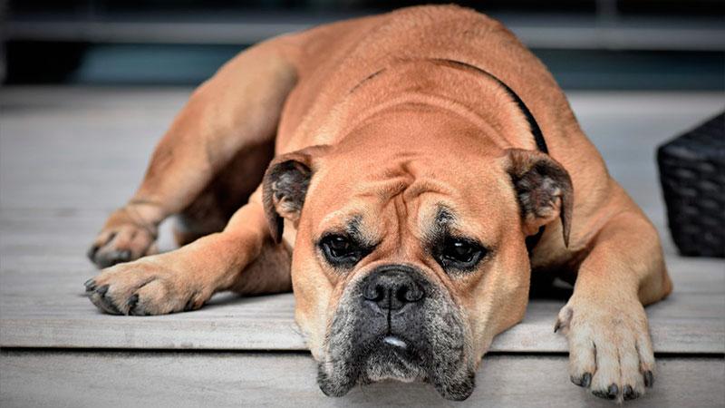 signos de cáncer en perros