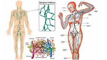 estructura del sistema linfático|investigaciones-sistema-linfatico