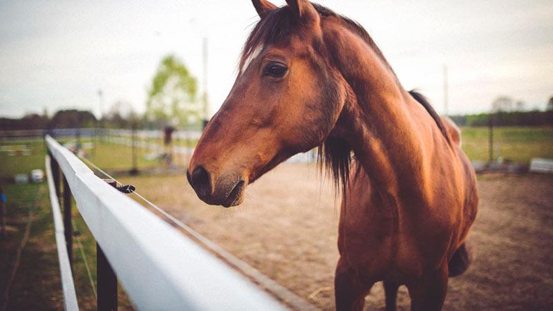 streptococcus-equi-caballo