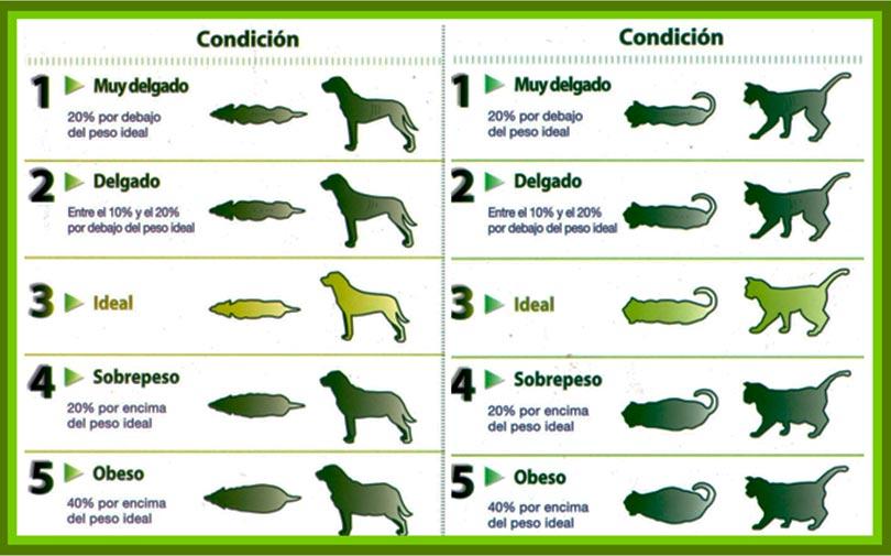 Cómo evaluar el índice de condición corporal en perros y gatos 1