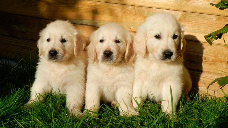 test-de-campbell-para-perros|test-de-campbell-caracter-de-cachorros