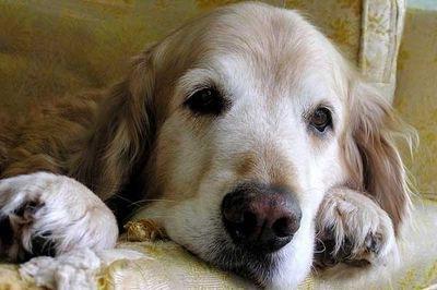 vejez del perro cataratas en el perro