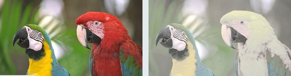 Representación de los colores que los humanos podemos percibir frente a como lo perciben los perros. Foto: Dra. Cynthia Cook (Veterinary Vision Inc.)