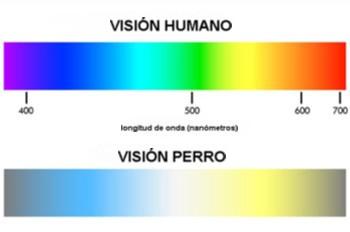 Los perros tienen dos tipos de fotorreceptores de color, mientras que los humanos tenemos tres. Así, los perros probablemente perciben el mundo en diferentes tonalidades de color amarillo y gris azulado.