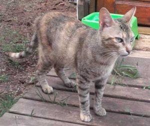 Princesa-gata-adopcion-asociacion-APAO-barcelona-1