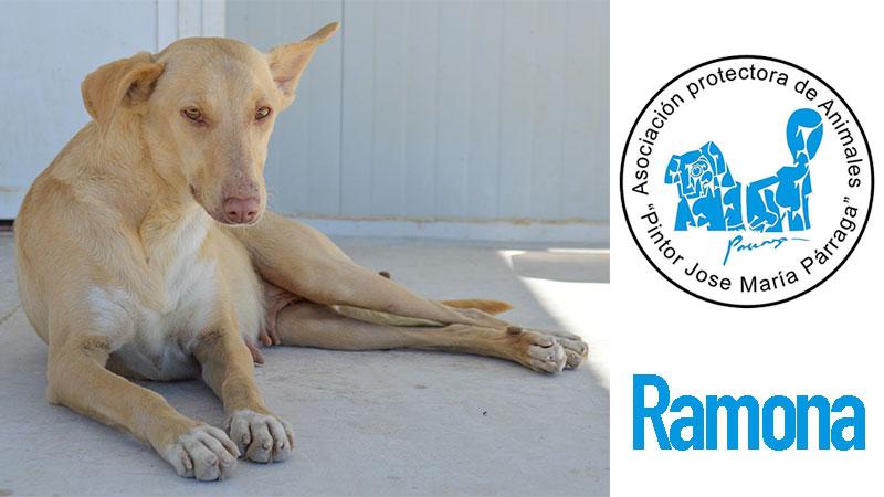 Ramona, perra acogida por la protectora Pintor Párraga de Murcia