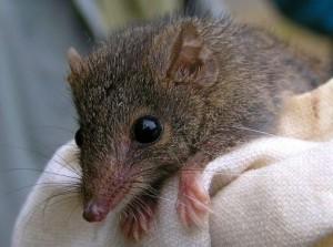 animal marsupial