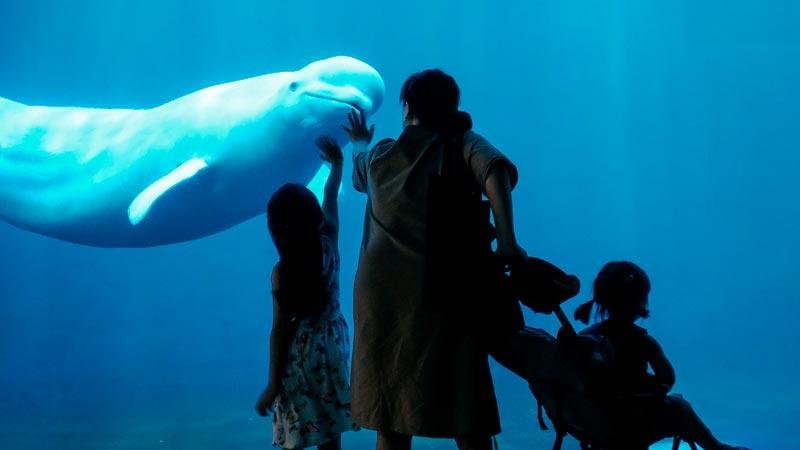 Cómo viven las belugas en cautividad 1