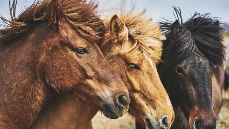Qué debe saber un técnico en equinos sobre la identificación de caballos 1