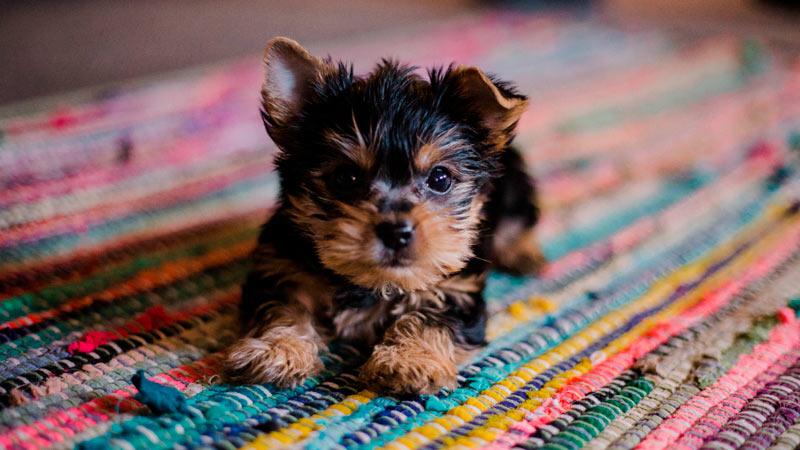 Cómo reconocer enfermedades del corazón en perros 5