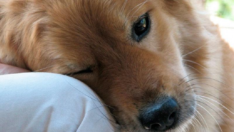 Capacidad social de los perros