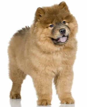 chow-chow-perros-territoriales-CIM-Formacion