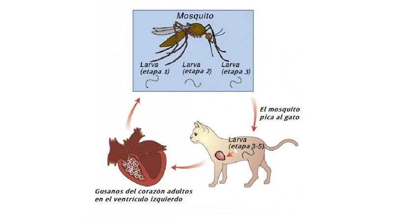 ¿Qué causa los gusanos del corazón en los perros?