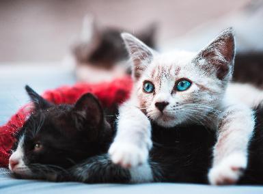 Cómo introducir un gato en una casa con más gatos