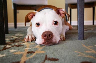 Enfermedad inflamatoria intestinal canina (IBD)